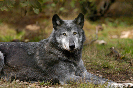 PHOTO: This female gray wolf is a resident of Wolf Haven International, an animal sanctuary near Tenino, Washington. Courtesy of WHI.