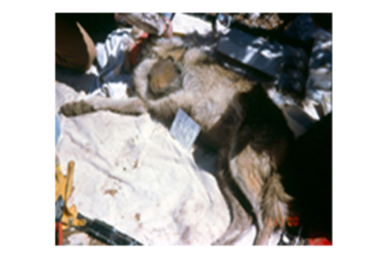 Trapped female Mexican wolf whose leg was amputated due to suffering frostbite. This Mule Pack wolf was being transferred. PHOTO Credit: U.S. Fish and Wildlife Service