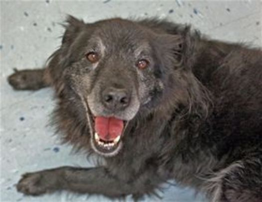 PHOTO: Bogie, a senior dog available at Second Chance Pet Adoptions. Courtesy of Second Chance Pet Adoptions