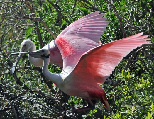 PHOTO: An Audubon Florida report finds that wading birds, such as roseate spoonbills, are nesting less often in the Everglades. Courtesy: Charles Lee, Audubon Florida