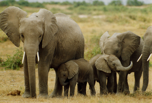 Family of Elephants in Afric. Courtesy Peter Knights, WildAid