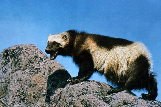 """PHOTO: Wolverines are proposed as """"threatened"""" under the Endangered Species Act. There are fewer than 300 in the lower 48 - mostly in Montana, Idaho, Wyoming and Washington. Photo credit: NPS"""