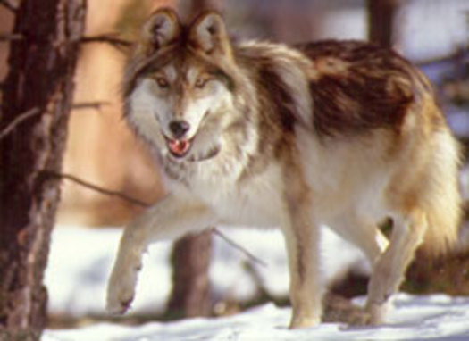 PHOTO: The number of Mexican gray wolves in the Arizona-New Mexico program rose last year from 58 to 75. CREDIT: PetBrags