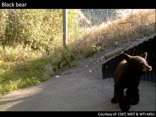 PHOTO: A black bear exiting a wildlife bridge on Highway 93 near Evano, Mont.