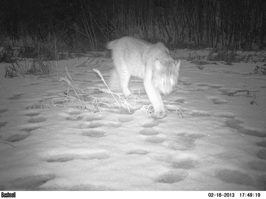 Photo: Night-tracking image of bobcat. Motion-activated cameras are recording species that may have conflicts with roads upstate. Photo credit: Nature Conservancy