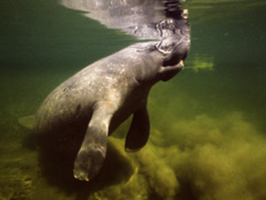 Photo: Algae has killed at least 184 manatees in Florida this year. Courtesy: Earthjustice