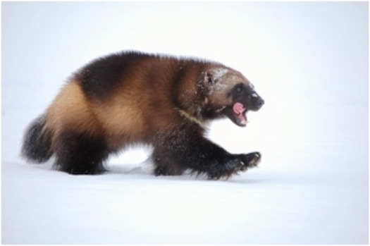 Photo: Only one wolverine lives in Colorado, but the state is considering potentially reintroducing the creature to the state. Courtsey: USFS.
