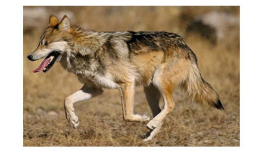 Photo: Mexican wolfCourtesy: Jim Clark USFWS