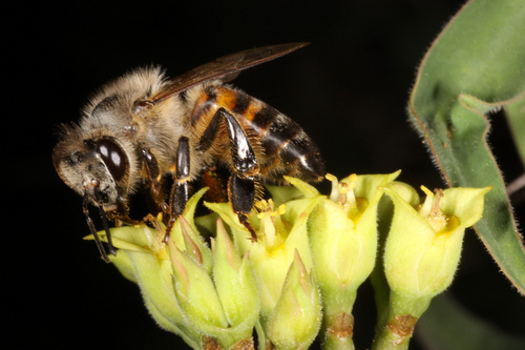 PHOTO: A coalition of beekeepers and environmental and consumer groups has filed a lawsuit claiming the EPA allows products highly toxic to honeybees to get to market with little oversight. CREDIT: Derek Keats
