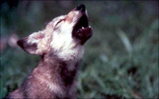 PHOTO: Mexican Gray Wolf, Canis lupus baileyi, USFWS