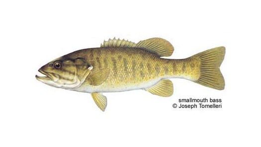 PHOTO: Sometimes called a �bronzeback� for its brassy brown hue, the smallmouth is one of the strongest fish for its weight.