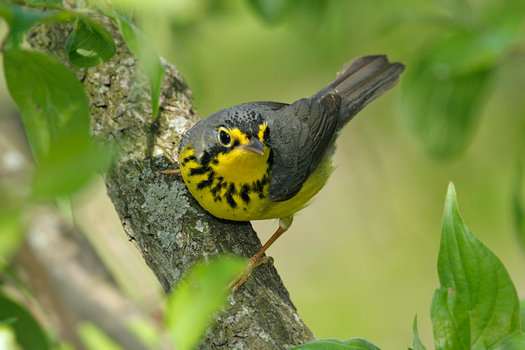 Birds that migrate through Maryland like the Canada Warbler are on the decline. Photo credit: Boreal Songbird Initiative