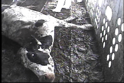 PHOTO: This cow, unable to walk, was discovered in a Humane Society of the United States investigation. Courtesy HSUS