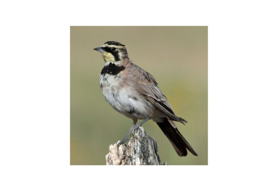 PHOTO: The horned lark is one of the birds that makes an appearance in Wyoming in the spring. Some stay to breed, with about 25 percent headed to Canada's boreal forest for breeding. Photo credit: Deborah C. Smith
