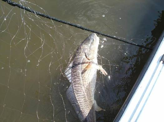 Photo: Red drum caught in a fishing net. Courtesy: NCWF