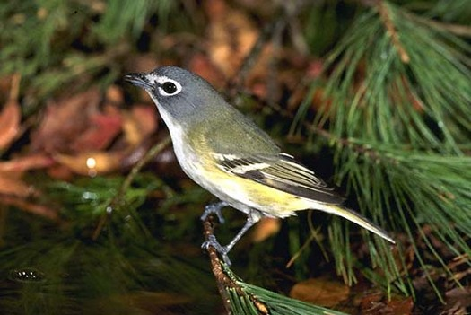"PHOTO: The Blue-Headed Vireo is one of the birds ""commuting"" through Arkansas this month. An estimated 55 percent of this species breeds in Canada's Boreal Forest. Courtesy of Boreal Songbird Initiative."