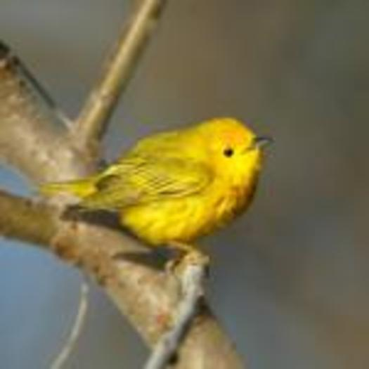 Birds that migrate through Maine, such as the Yellow Warbler, are threatened by changes to their nesting habitat in Canada. Photo credit: Boreal Songbird Initiative