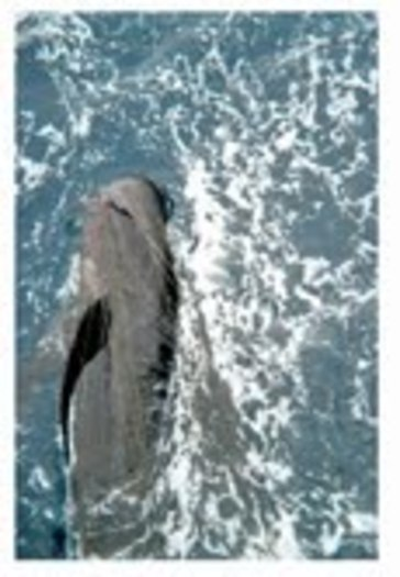 PHOTO: A pilot whale entangled in a drift gillnet. Fishermen use the massive nets to catch swordfish and thresher sharks, but other animals get caught in the nets and either drown or are tossed overboard. Photo courtesy of NOAA.