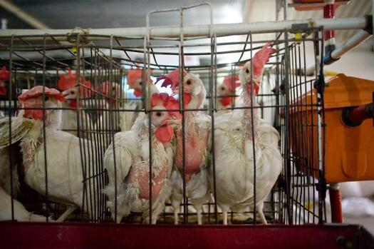 "PHOTO: A new federal bill would phase out ""battery cages"" and require labeling on all egg cartons. Courtesy of HSUS."
