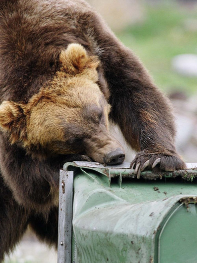 PHOTO: It's Bear Awareness Week. Defenders of Wildlife is offering financial assistance for property owners to install bear-proof electric fencing if grizzlies are active in their neighborhoods. Photo courtesy of Defenders of Wildlife.