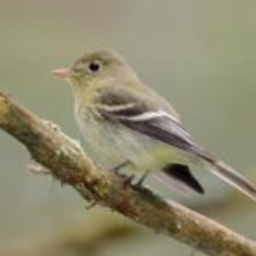Birds that migrate through New York, such as the Yellow-Bellied Flycatcher, are threatened by changes to their nesting habitat in Canada. Photo credit: Boreal Songbird Initiative