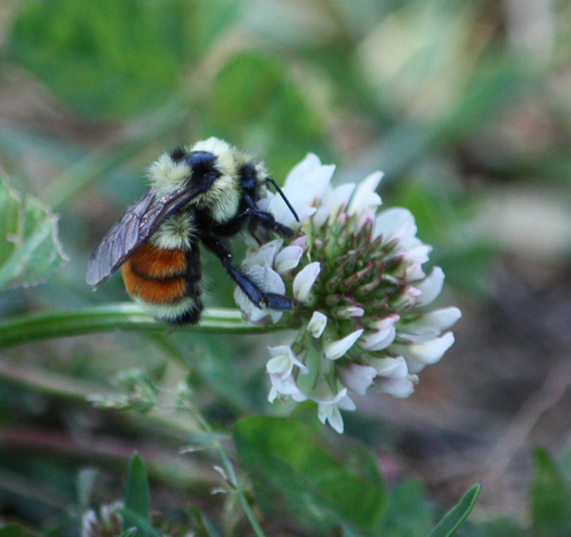 PHOTO: As honeybees continue to decline, native bees, including bumblebees, are being studied as a safety net for agriculture. Photo credit: Deborah C. Smith