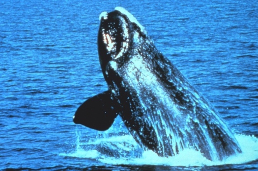 PHOTO: As Mid-Atlantic states develop wind energy, there are concerns about the protection of the critically-endangered North Atlantic right whale. Photo credit: NOAA.GOV