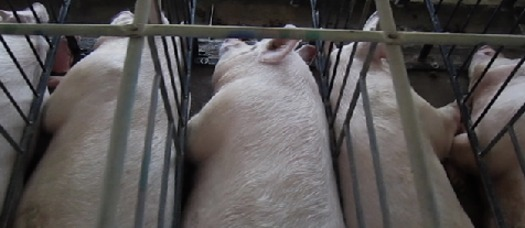 "PHOTO: The Humane Society of the United States wants Smithfield Foods to continue to phase out use of ""gestational crates,"" even if it is sold to a Chinese company. Photo credit: Humane Society of the United States"