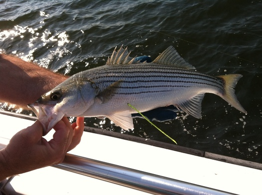 PHOTO: 200 stripped bass have been tagged and released into the Chesapeake Bay as part of the 2013 Maryland Fishing Challenge. Photo Credit: Department of Natural Resources