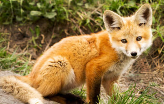 PHOTO: The Virginia Department of Game and Inland Fisheries is proposing new regulations to control the practice of penning foxes. Photo credit: Animal Welfare Institute