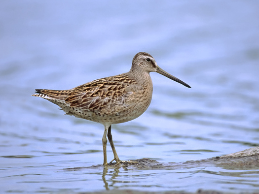 PHOTO: Short-billed Dowitcher that migrates through California is 97% breed in the boreal forest. Birders say it's important to Photo credit: Jeff Nadler