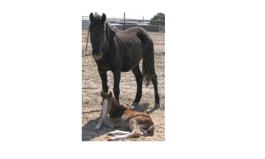 Homeless horses get a new chance at life thanks to animal advocates.  Ashanti and her just-born new colt at San Juan Sheriff�s Posse Grounds in Farmington, NM on March 6, 2013.PHOTO Courtesy of Debbie Coburn.