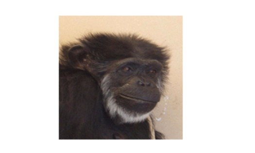 PHOTO: Flo, held in captivity most of her life, is now 55. A ruling to recognize all chimpanzees as endangered could mean retirement from lab testing in Alamogordo, New Mexico. Courtesy of NIH.