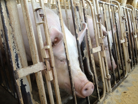 PHOTO: Animal cruelty was brought to light at Wyoming Premium Farms in Wheatland, Wyo., in May 2012. Undercover exposes might be criminalized if �ag-gag� bills introduced in many states are passed. Courtesy Humane Society of the United States.