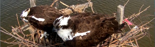 PHOTO: The Chesapeake Conservancy's Osprey Cam shows Tom and Audrey Osprey's life on the Bay. Photo Credit: The Chesapeake Conservancy