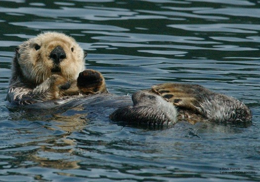 PHOTO: The U.S. Fish and Wildlife Service is considering changing the rules on how sea otters can be used once they are harvested by Alaska Natives, which is something that concerns environmental groups in California. Photo courtesy: Heidi Pearson