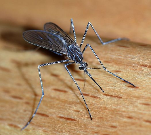 PHOTO: Swat it! Or better yet, prevent it. The experts say the best protection from the more than 55 mosquito species native to Arkansas is prevention, by eliminating sources of standing water. Photo credit: Joaquim Alves Gaspar.