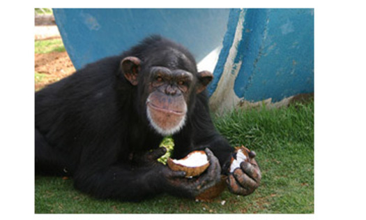 PHOTO: Pumpkin, a 24-year-old chimpanzee at the Alamogordo Primate Facility, loves coconuts and kiddie swimming pools. APF is a chimpanzee reserve where no research is conducted.Courtesy: N-I-H.