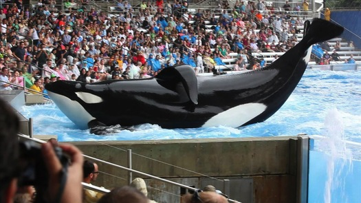 """PHOTO: The documentary film """"Blackfish"""" about Tilikum, the now-infamous orca responsible for three deaths while in captivity opened over the weekend. Courtesy of Magnolia Pictures."""