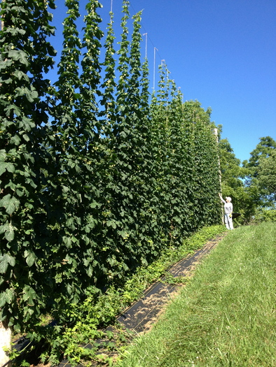 Photo: Pelczar checking on Cascade Hop crop. Courtesy: Blue Ridge Hops