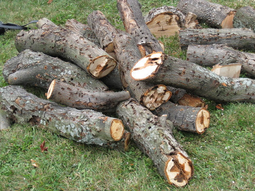 This is damage from the Asian long-horned beetle, which bores holes and tunnels into hardwood, eventually killing the tree. (Photo courtesy USDA)