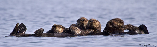 """PHOTO: Four fishermen groups want the U.S. Fish and Wildlife Service to reverse its decision to end the """"no otter zone"""" in Southern California waters. Meanwhile, environmental groups are defending the FWS's decision because they say the no-otter zone was never a good plan, and that the lawsuit trying to get it reinstated is a big step backward. Credit: Cindy Tucey"""