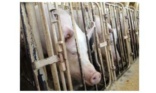 PHOTO: Sows lined up in crates. An undercover HSUS investigation in spring 2012 revealed cruelty and unsanitary conditions at a Wyoming pig breeding facility owned by a pork supplier. Courtesy of HSUS.