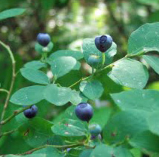 """PHOTO: It�s huckleberry season in Wyoming, and people aren�t the only ones looking for the sweet treats � bears love them, too, so harvesters need to be """"bear aware."""" Photo credit: Deborah C. Smith"""
