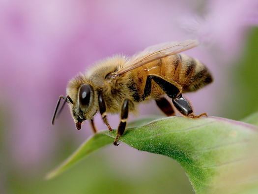 "PHOTO: A first-of-its-kind pilot study has found that some garden plants sold as ""bee friendly"" are actually poisonous to bees and other pollinators. Courtesy of PANNA."