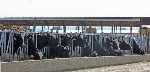 PHOTO: Cattle producers in Montana and around the country are rethinking feedlot practices after Merck Animal Health recently pulled a popular growth-accelerating drug from the market. Photo credit: Deborah C. Smith