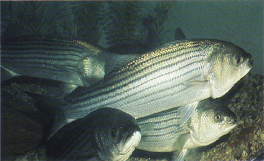 Photo: Striped Bass are among the species at risk. Courtesy: TalkingFish.org