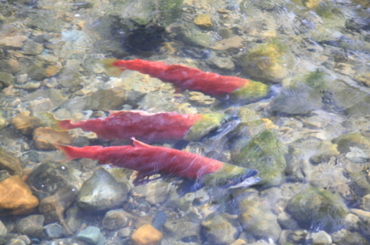 PHOTO: Will the fourth federal plan to save endangered salmon species make headway? Its critics say it isn't much different than earlier plans that were found lacking. Photo credit: iStockphoto.com.