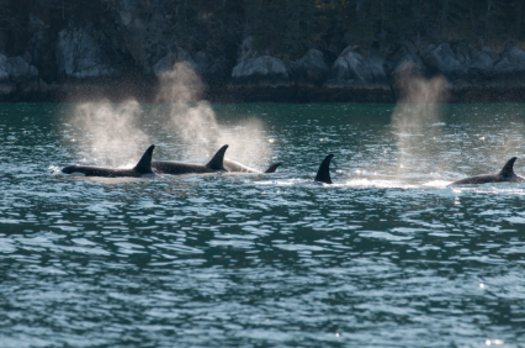 PHOTO: The Navy tries to watch for orcas before blasting sonar during training, but a federal judge says new research must be taken into account that might restrict training in areas while whales and dolphins are present. Photo credit: iStockphoto.com.