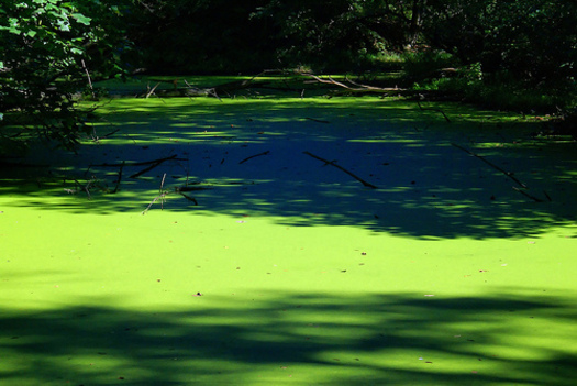 PHOTO: An increase in fertilizer runoff from agriculture, along with more severe weather, is leading to a larger number of reports of toxic algae blooms in the United States. The algae can make people ill and kill animals or pets. CREDIT: Ben Townsend